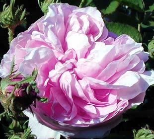 Rosal Rosa de los pintores