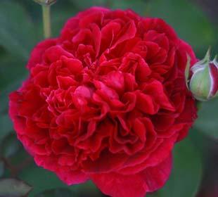 Rosal 'William Shakespeare 2000'