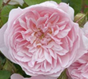 Rosal 'Wisley 2008'