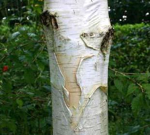 Himalayan Birch