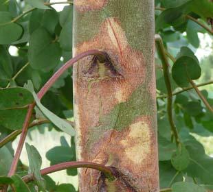 Cider gum Eucalyptus tree