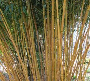 Bamboo Phyllostachys Aureosulcata Aureocaulis