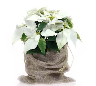 Poinsettia branca