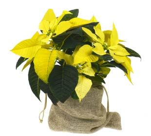 Poinsettia amarela