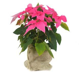Poinsettia rosa