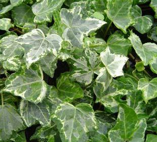 Lierre commun 'Elegantissima'