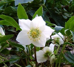 Rose de Noël, Héllebore