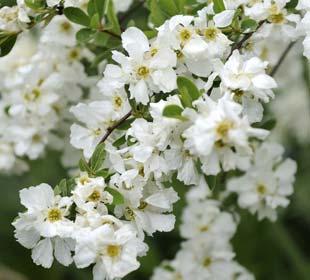 Membrillero de flor Blanco