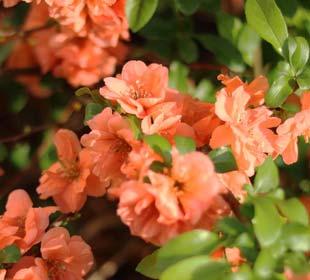 Membrillero de flor Naranja