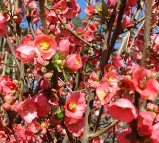 Membrillero de flor Rojo