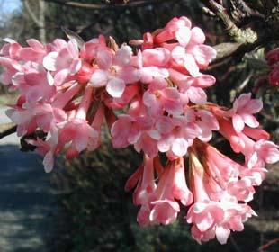 Viburnum farreri, Viburnum fragrans