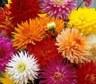 Dahlia Cactus bulbs