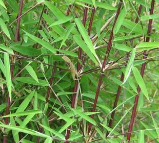 Bamboo Fargesia jiuzhaigou Genf Red