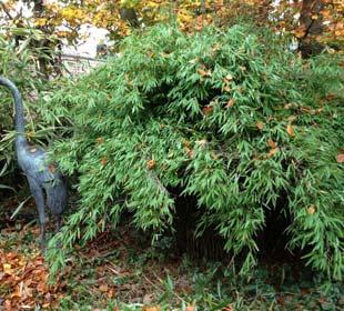 Bamboo Fargesia nitida 'Black Pearl'