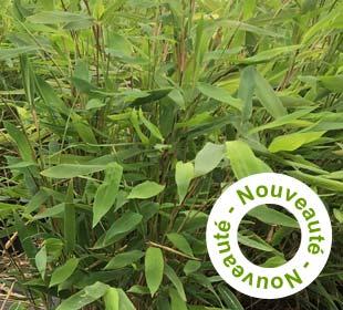 Bambou Fargesia nitida 'Gansu'