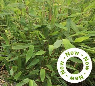 Bamboo Fargesia nitida 'Gansu'