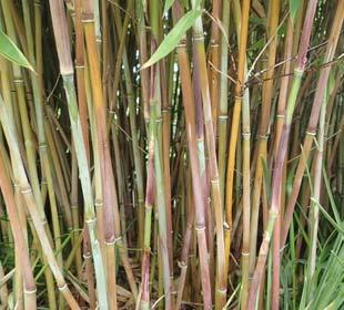 Bamboo Fargesia nitida 'Winter Joy'