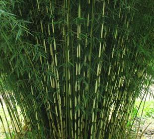 Bamboo Fargesia robusta Campbell