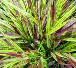 Japanese Grasses
