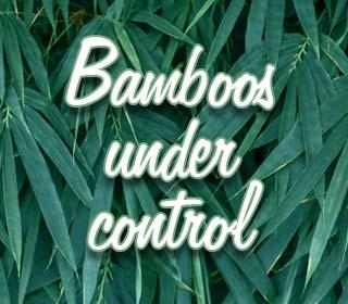 Bamboos under control!