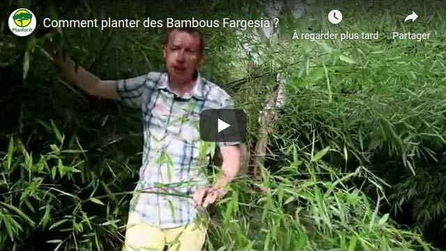 Comment planter des Bambous Fargesia ?