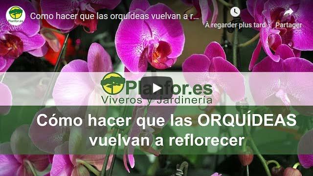 Como hacer que las orquídeas vuelvan a reflorecer