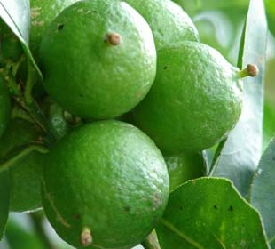 Frutas exóticas y Plantas cítricas