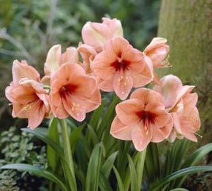 Bulbos de Amarilis