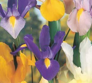 Bulbos de Iris
