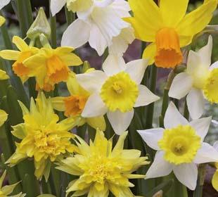 Bulbos de Narciso