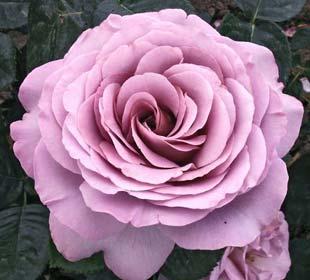 Rosales de Flor Grande