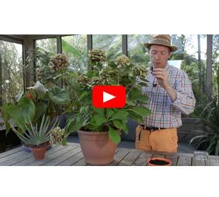 Comment bouturer les hortensias ?
