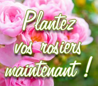 Plantez vos rosiers maintenant !