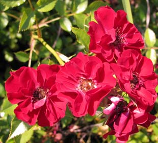 Rosier paysager rouge foncé 'Fairy Donkerrood'