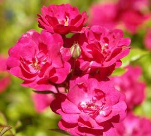 Rosier paysager rose foncé 'The Fairy Rubra'
