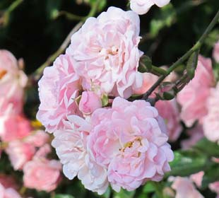 Rosier paysager rose 'The Fairy'