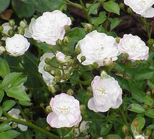 Rosier paysager blanc 'White Fairy'