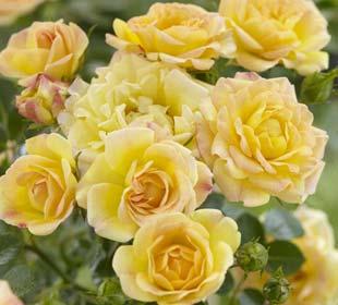 Rosier paysager jaune 'Yellow Fairy'