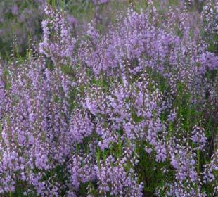 Brezo de verano violeta