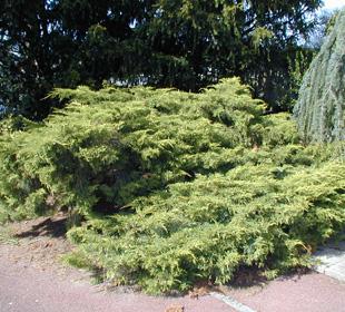 Juniperus horizontal 'Pfitzeriana Aurea'