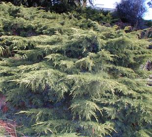 Juniperus horizontal 'old Gold'