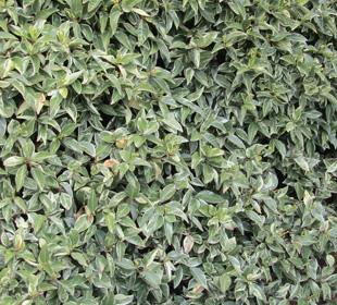 Jazmín estrellado de hojas variadas