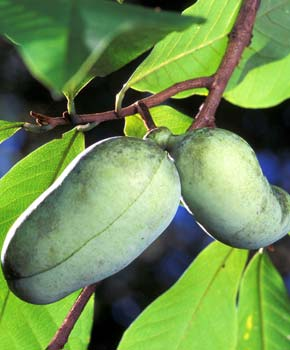 Discover the Pawpaw tree