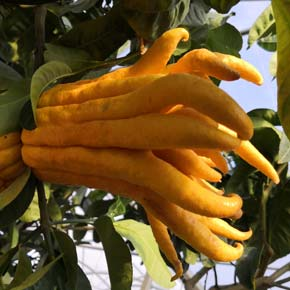 Buddha's hand-Fingered Citron