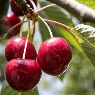 Cerezo enano Cherry Baby