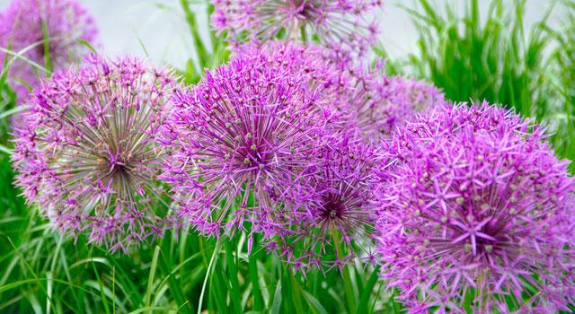 Bulbes d'Allium, ail décoratif