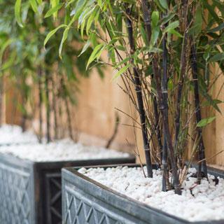 Bambus Phyllostachys